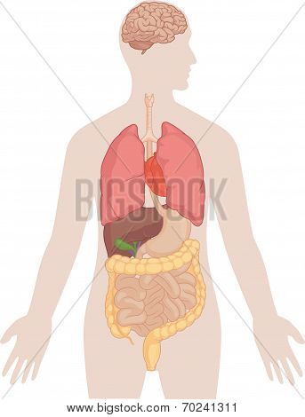 Human Body Anatomy - Brain, Lungs, Heart, Liver, Intestines