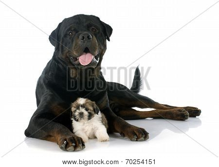 Puppy Shitzu And Rottweiler