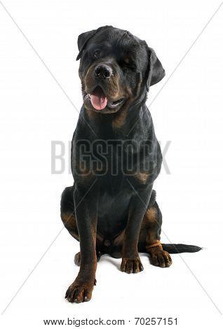 Wink Of Rottweiler