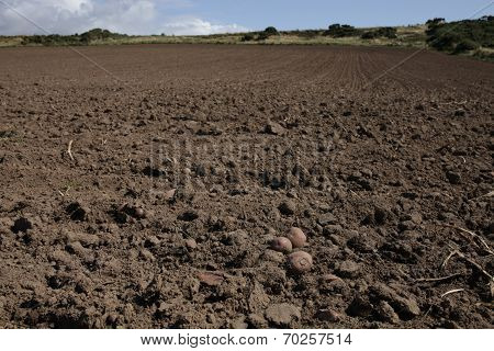 Harvested Potato Field