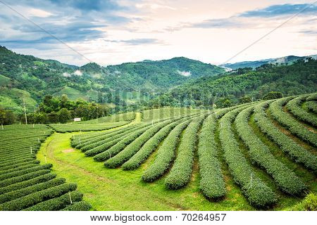 Tea Plantation On The Mountain