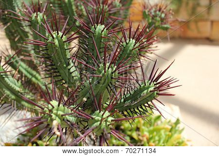 Pincushion Euphorbia - Cactus With Purple Spikes
