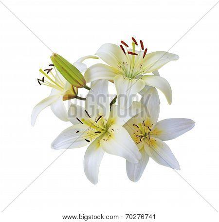 White Lily Branch