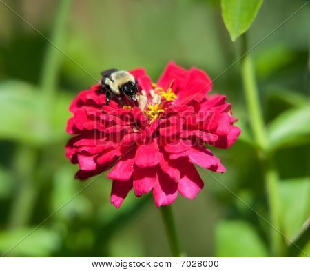 A Bumble Bee Feeds On A Flower.