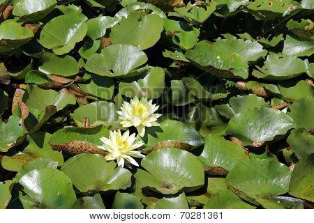 Beautiful lily pond