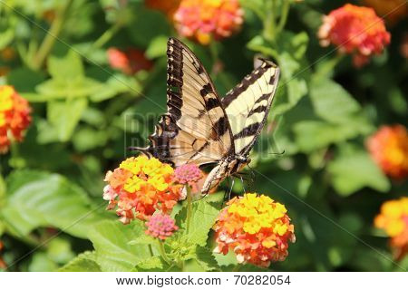 Yellow Tiger Swallowtail butterfly (Pterourus glaucus) on orange zinnia flowers