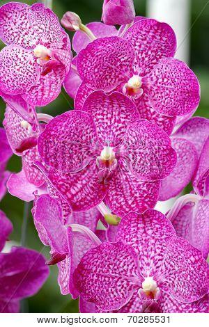 Ascocentrum Orchid