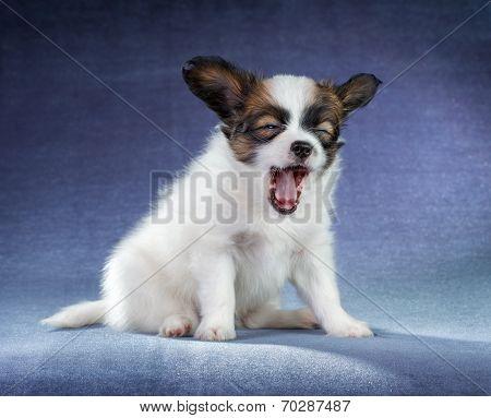 Papillon Puppy Yawning