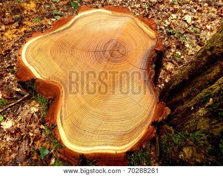 Cross section of a felled acacia tree