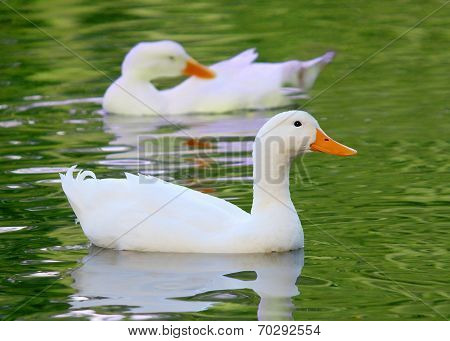 White Pekin Duck Long Island ducks Anas platyrhynchos domestica