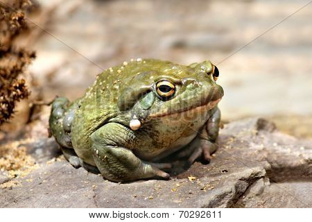 Colorado River toad Incilius Bufo alvarius