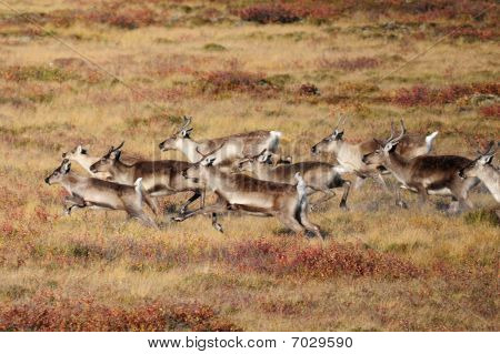 Herd of caribou