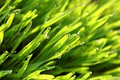 pic of close-up  - Morning dew on green grass