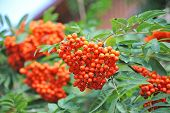 foto of rowan berry  - Rowan berries Mountain ash  - JPG