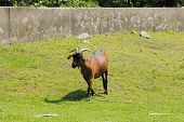 foto of billy goat  - Brown Goat in a Farm Field During the Summer - JPG
