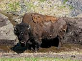 stock photo of wallow  - Northern British Columbia bull buffalo wallowing in roadside ditch - JPG