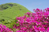 foto of hemisphere  - Bright pink azalea flowers in front of green hemispherical hill  - JPG