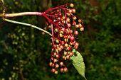 pic of elderberry  - Growing elderberry unripe fruits after rain in the garden - JPG