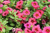 image of petunia  - Petunia flowers - JPG