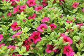 pic of petunia  - Petunia flowers - JPG
