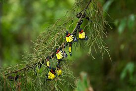 image of cocoon tree  - Beautiful color of butterfly group on pine tree - JPG