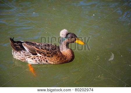 Male Crested Duck, lophonetta specularioides