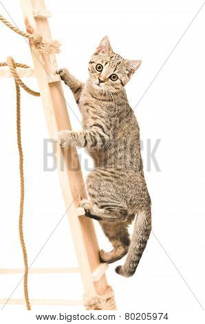 Kitten Scottish Straight climbing the wooden stairs