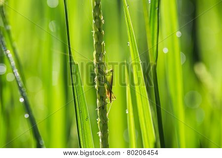 Grasshopper on rice field
