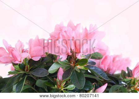 Flowers of a pink azalea on a pink background