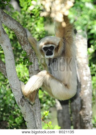 Monkey, White Handed Gibbon Or Lar Gibbon , Thailand