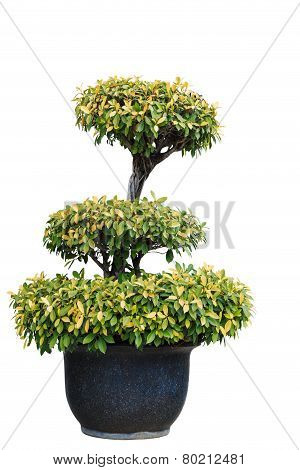 Isolated Tree On Clay Pot