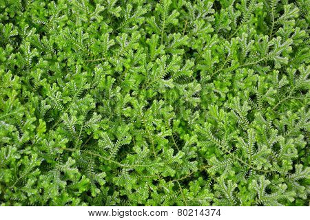 Green leaves texture background