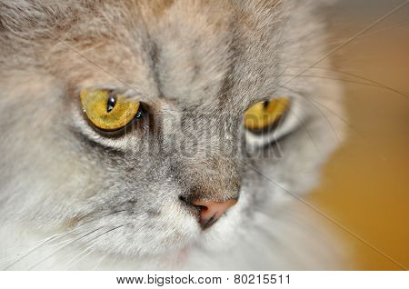 Silver Persian Cat