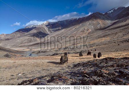 Yaks In Tajikistan