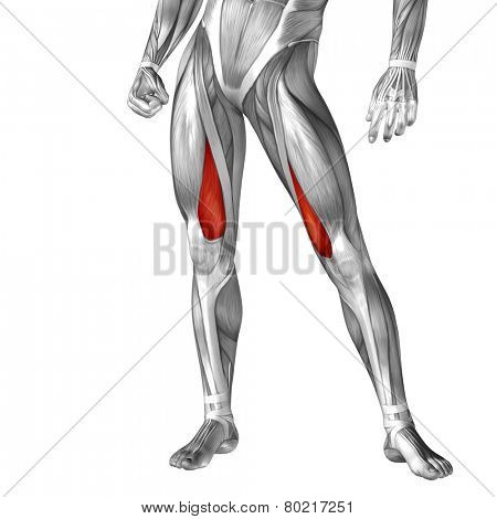 Concept or conceptual 3D vastus medialis human upper leg anatomy or anatomical and muscle isolated on white background