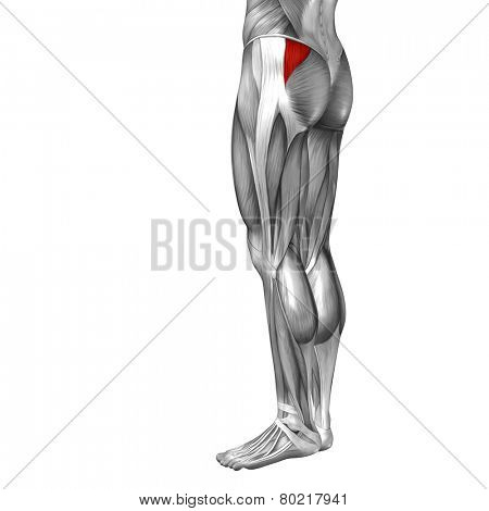 Concept or conceptual 3D gluteus medius and minimus human upper leg anatomy or anatomical and muscle isolated on white background