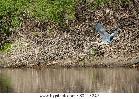 Grey Heron Above River