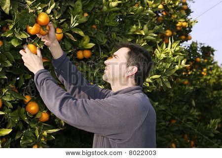 Orange Tree Field Farmer Harvest Picking Fruits