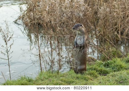 Otter By Frozen Pond