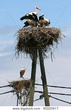 Storks In Nests On Electric Poles