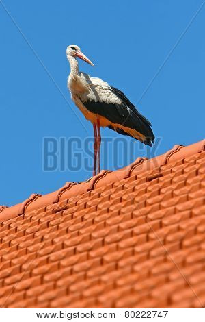 White Stork On House Roof