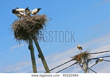 White Storks In Nests On Top Of Electric Poles