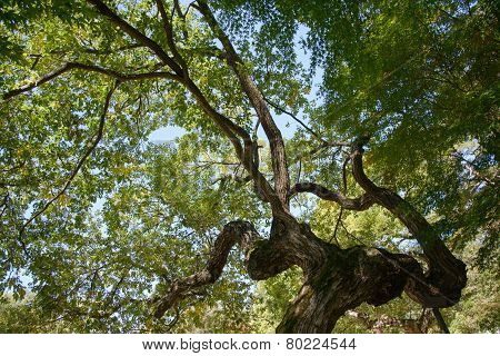 Bough Of Old Willow Tree