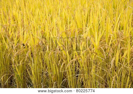 Full Ripen Rice In Autumn