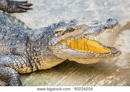 Dangerous Crocodile Open Mouth In Farm In Phuket, Thailand. Alligator In Wildlife