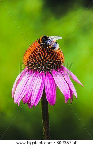 Bee gather nectar on Echinacea flower