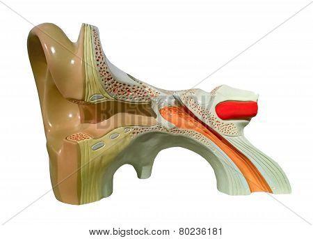 Model Of Inner Ear