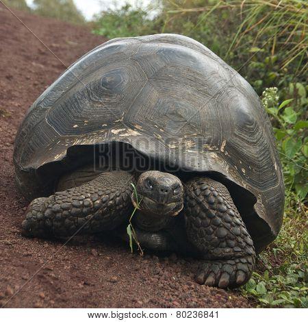 Galápagos Giant Tortoise in Santa Cruz Island