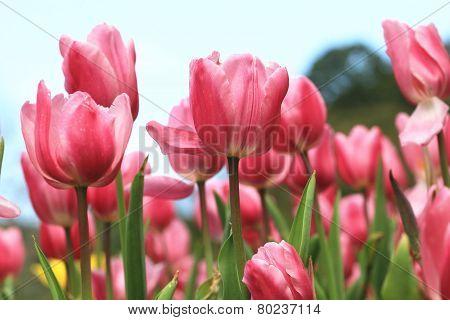 Tulip flower,Curcuma,Common Tulipa,Common Garden Tulipa