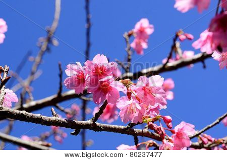 Wild Himalayan Cherry Flower (prunus Cerasoides)